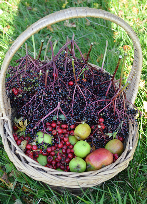 Foraging basket filled with crab apples, haws and elderberries.